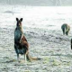 Kangaroos-Snow-628x353